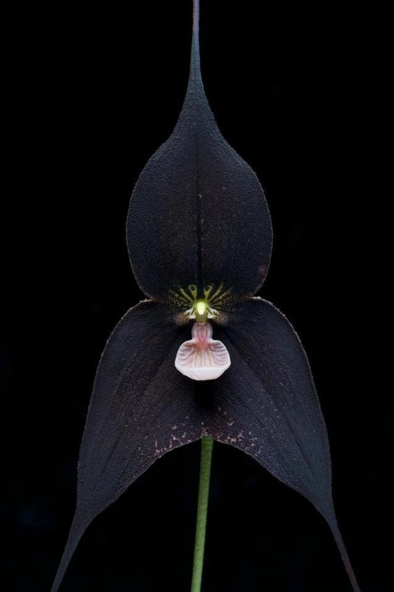 Vampire orchid, unofficially named 'Dracula Raven' #orchid #dracula #vampire #raven #flower