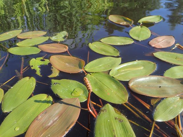 Kelluvia lehtiä veden pinnalla
