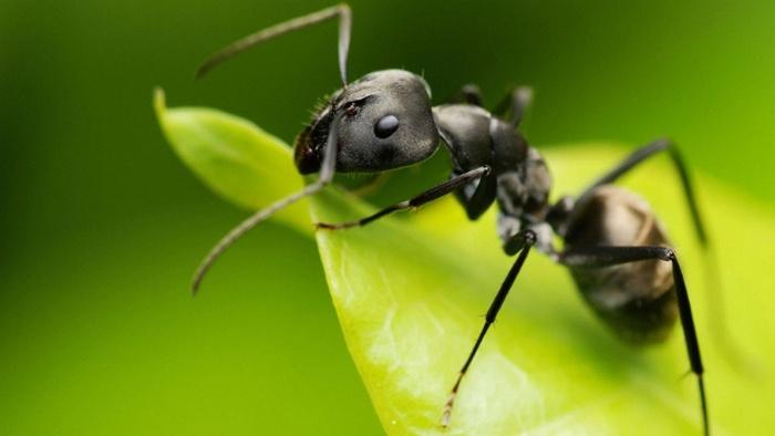 semut, semut klasifikasi yang lebih rendah, klasifikasi semut merah, cara hidup semut, bagian tubuh semut dan fungsinya, klasifikasi semut rangrang, nama latin semut hitam, klasifikasi semut hitam, ciri ciri semut hitam