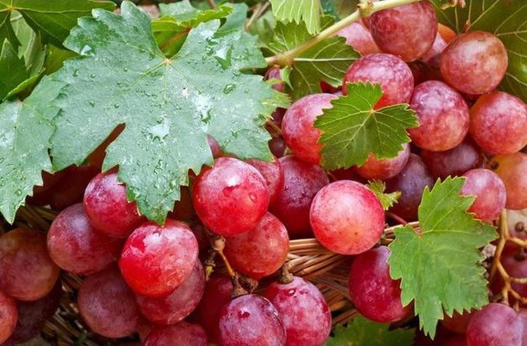 Bibit Anggur Merah Pohon Anggur Merah Kotamobagu