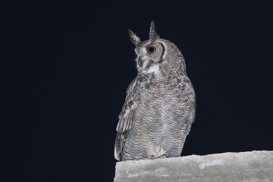 Arabian Spotted Eagle-owl