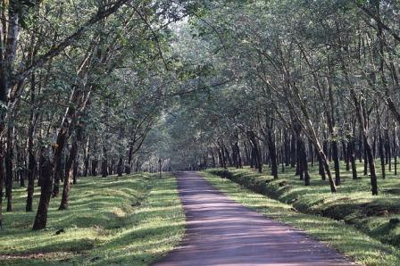 /2020/03/keuntungan-berkebun-pohon-karet-bagi-petani.html