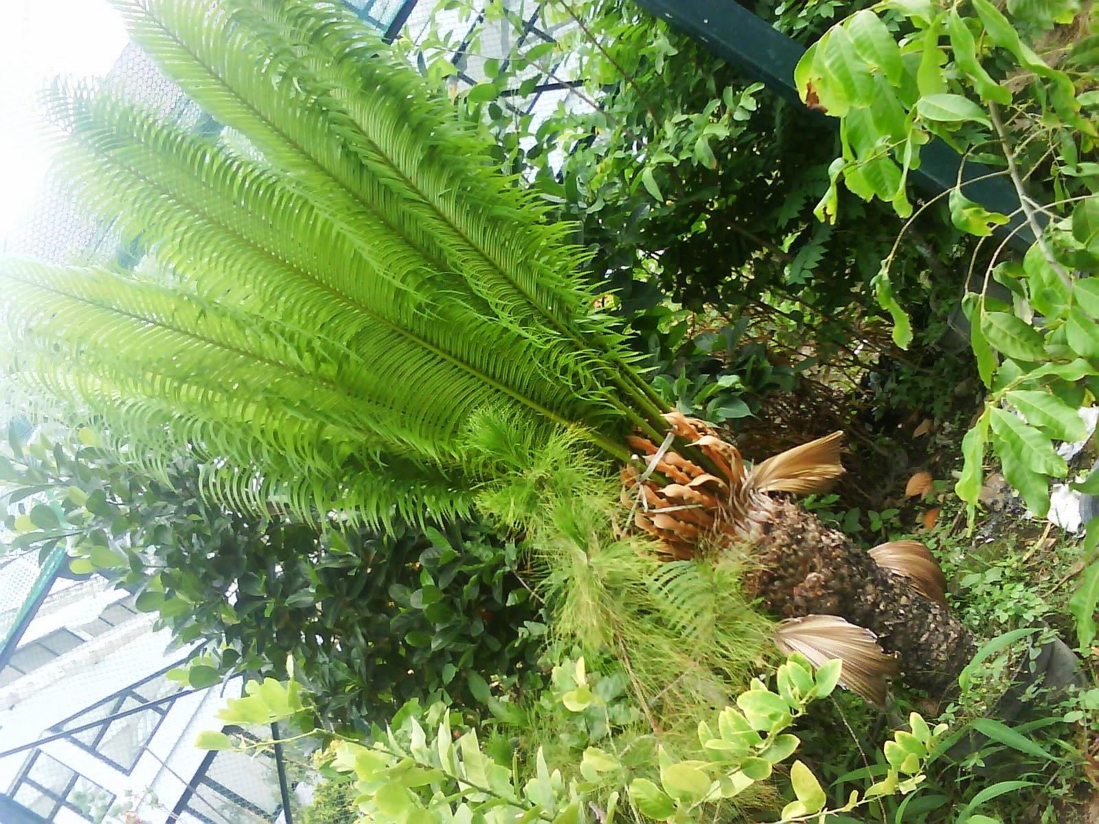 Jual Pohon Pakis Haji | Jasa Tukang Taman | Tukang Bikin Taman