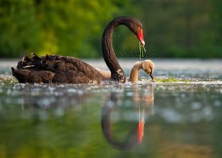 Gambar angsa dan anaknya