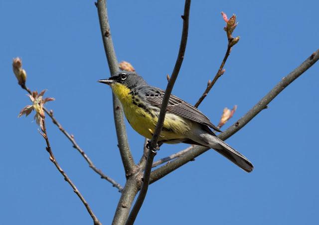Kirtland's Warbler - Grayling, Michigan, USA