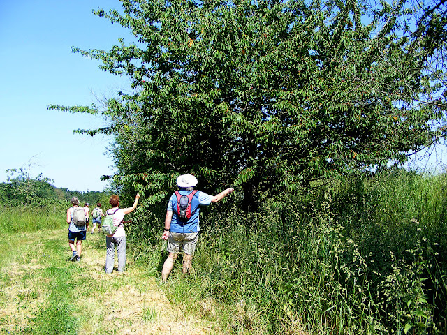 Scrumping sour cherries on a walk in the countryside.  Indre et Loire, France. Photographed by Susan Walter. Tour the Loire Valley with a classic car and a private guide.