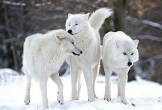 lobos brancos