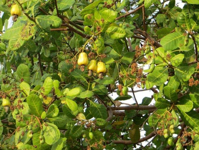 кешью на дереве с плодом