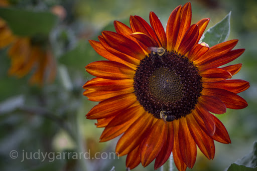 Red/orange sunflower with bees