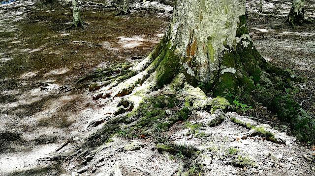 la patata di muro lucano e la radice di faggio nel bosco di Montagna Grande sul monte Paratie