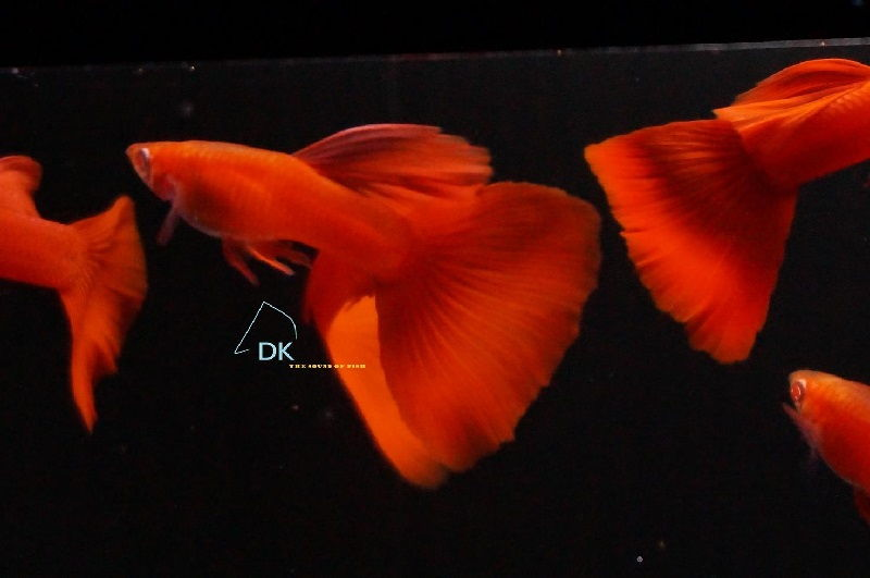 Gambar Jenis Ikan Guppy Import - Ikan Guppy Import Albino Full Red / AFR
