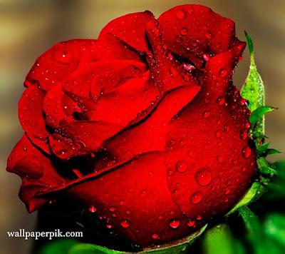 new single  rose wallpaper image