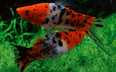 Ikan Platy Sanke