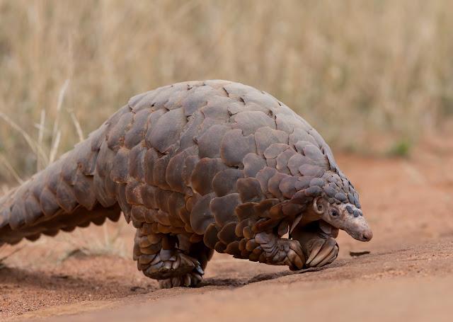 Animal Pangolin
