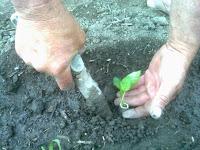 plantarea si fixarea radacinilor ardeiului