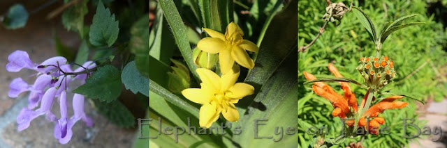 Plectranthus, Hypoxis, Leonotis