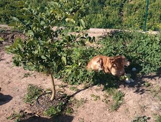 Apelsinblomshund gillar också fingercitronen. Dess skugga i alla fall...