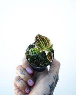 Macodes sanderiana a la venta online en Instinto Planternal