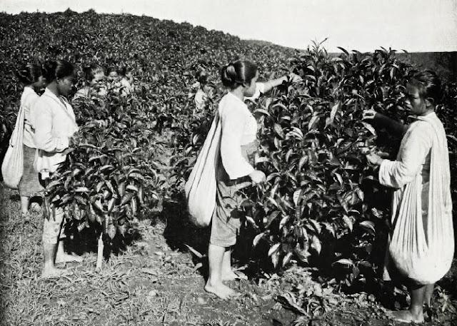 Para pemetik teh di masa kolonial