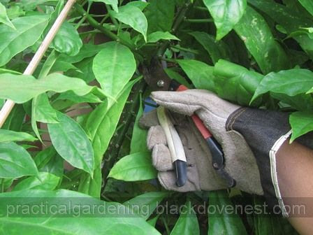 Practical Gardening Cutting And Disposing Thorny Plant Branches
