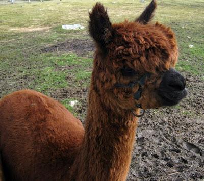 What is a huarizo llama alpaca?