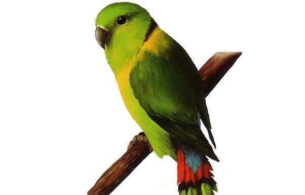 Gambar Burung LoveBird Kerah Hitam