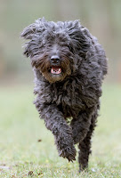 Everything about your Bouvier des Flandres