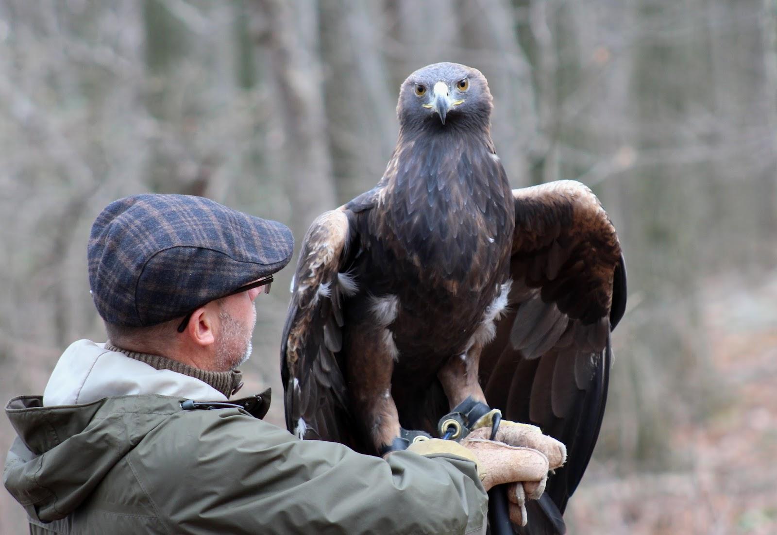 Pa Environment Digest Blog Golden Eagle Day Nov 12 At Hawk