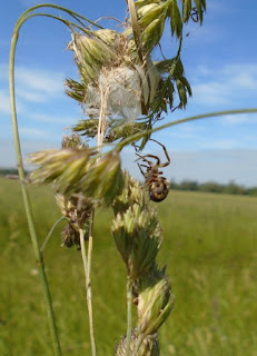 Larinioides cornutus, ascending to her silken retreat at the top of the grass stalks
