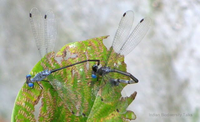 Damsel flies, ecological services, Damsel flies mating