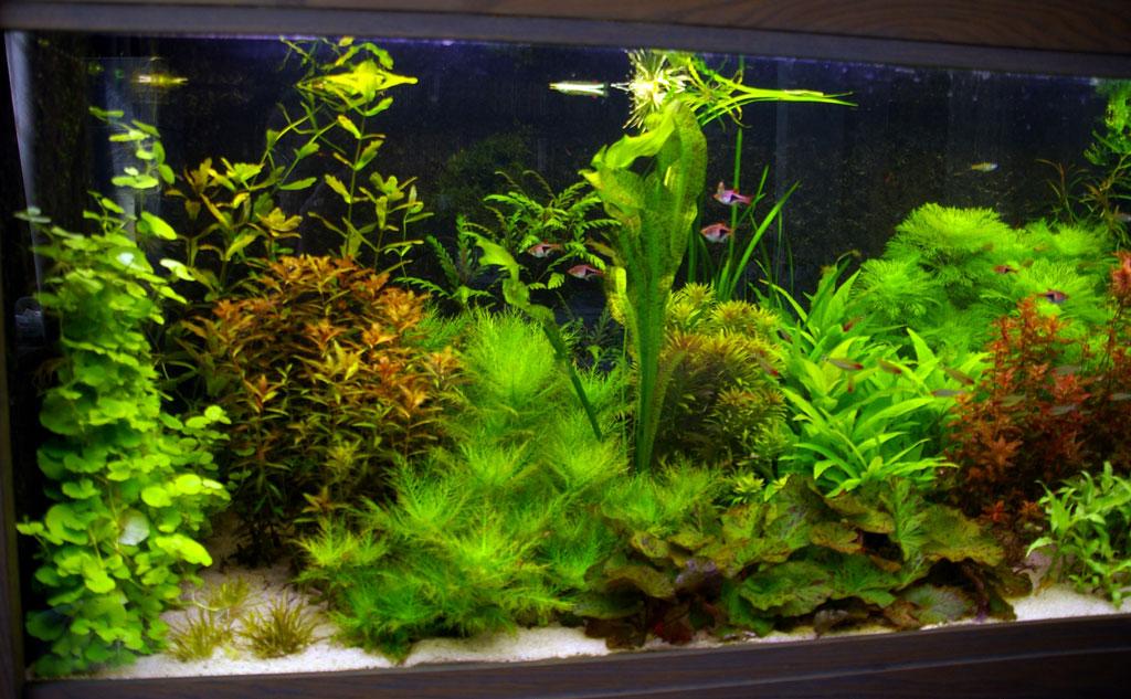 Ở một số hồ thủy sinh, cây liễu thơm có thể được trồng ở vị trí tiền cảnh