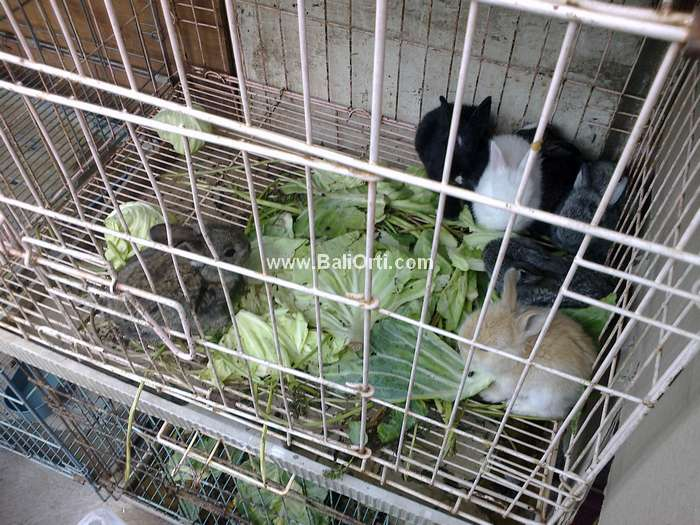 Rabit for Sale Satria Bird Market Denpasar