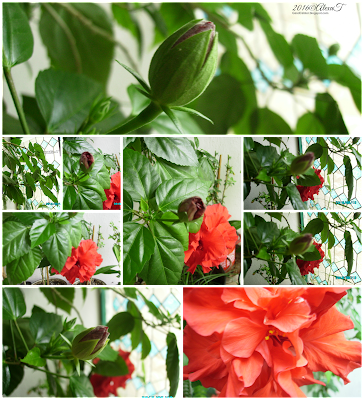 Red-layered hibiscus. Up, a flower emerges from a bud. Down in the collage, a fully bloomed flower of R. rosa. Arhiva foto privată/ Private photos archive. Click to see enlarged views.