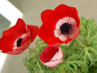 Anémone couronnée - Anémone de Caen - Anemone coronaria - Anémone des fleuristes