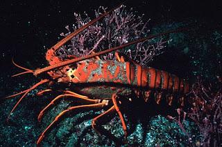 Migrasi Lobster Duri | BelajarIPA.com