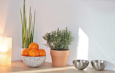 Rosemary Tanaman Hias Indoor Bermanfaat Mengusir Nyamuk
