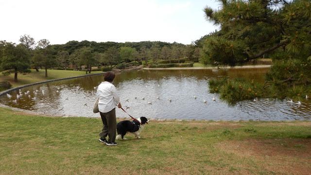 保護犬 ボーダーコリー トーマ 稲毛海浜公園