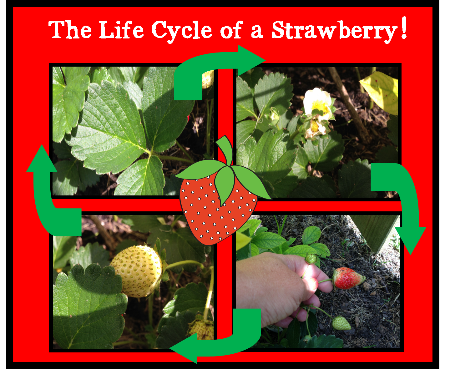 Diagram Of The Life Cycle Strawberry Lennox Wiring Thermostat Welcome To Schroeder Page Little Mouse Red