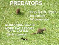 Predators introduced on Hawaii - On photo: Javan Mongoose, © Denise Motard