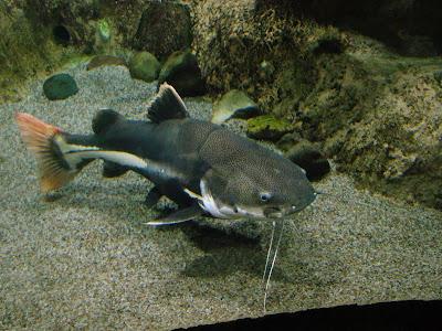 Ikan Lele Ekor Merah ( Red Tail Catfish )