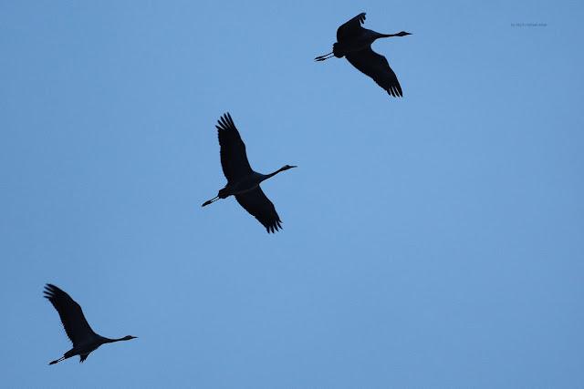 Kranichfamilie-den jungen Vögeln fehlen weiße und rote Flecken am Kopf