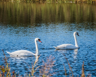 Mute Swans at Cape May Point
