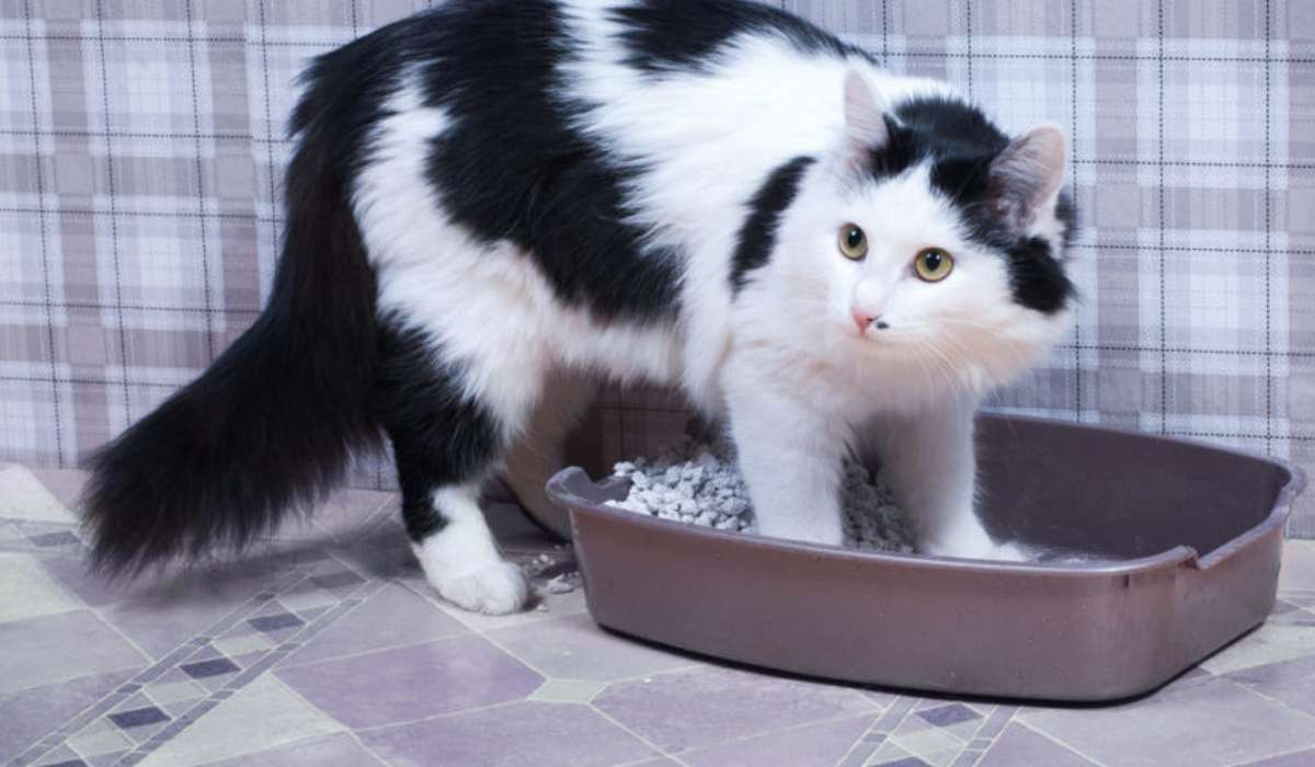 Types of urine retention in cats and its causes | cat and dogs