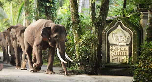 Elephant Safari Park, Desinasi di Bali yang Cocok Buat Anda Penyuka Gajah