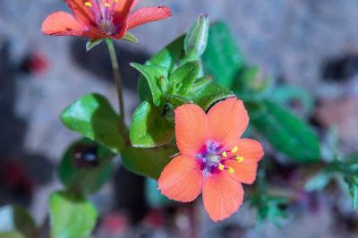 [Primulaceae] Anagallis arvensis - macro.