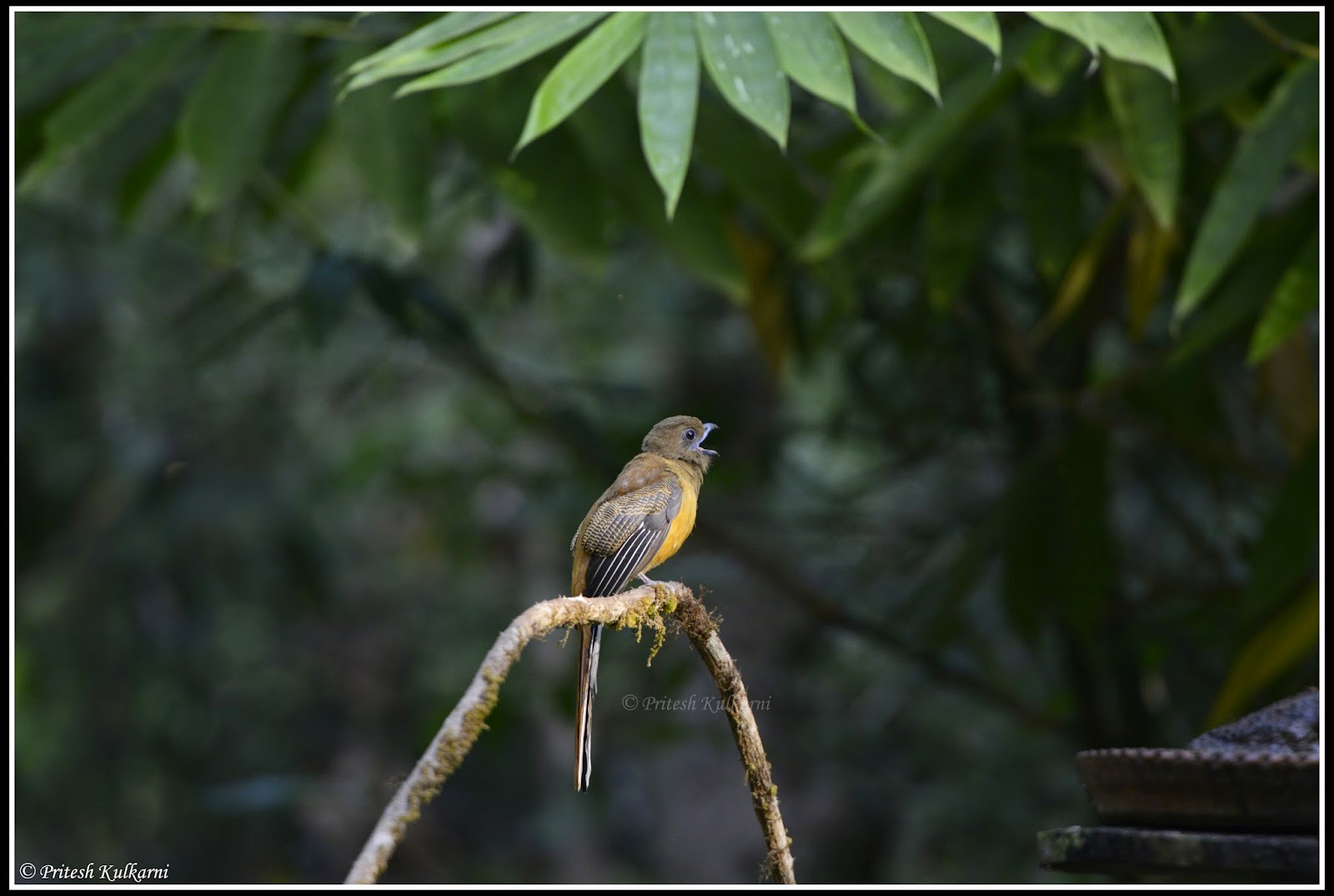Malabar Trogon Female at Old Magazine House