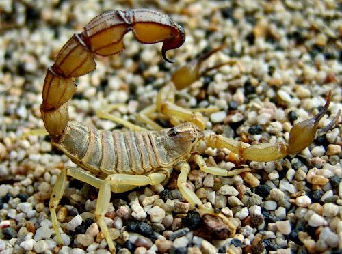 Escorpião mais letal do mundo
