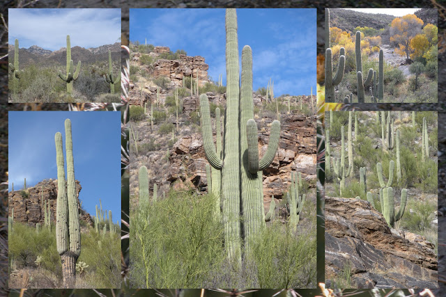 Things to Do in Arizona - Saguaro Cacti in Saguaro National Park