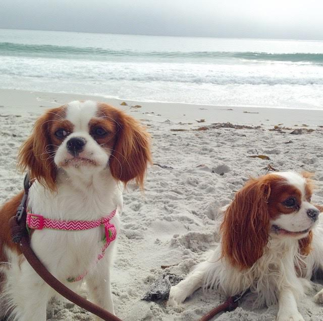 Blenheim Cavalier King Charles Spaniels on beach in Carmel, California