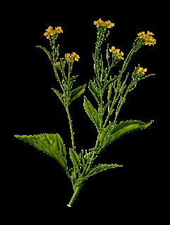 Mustard adalah salah satu obat gigi goyang alami yang bisa dimanfaatkan untuk mengatasi
